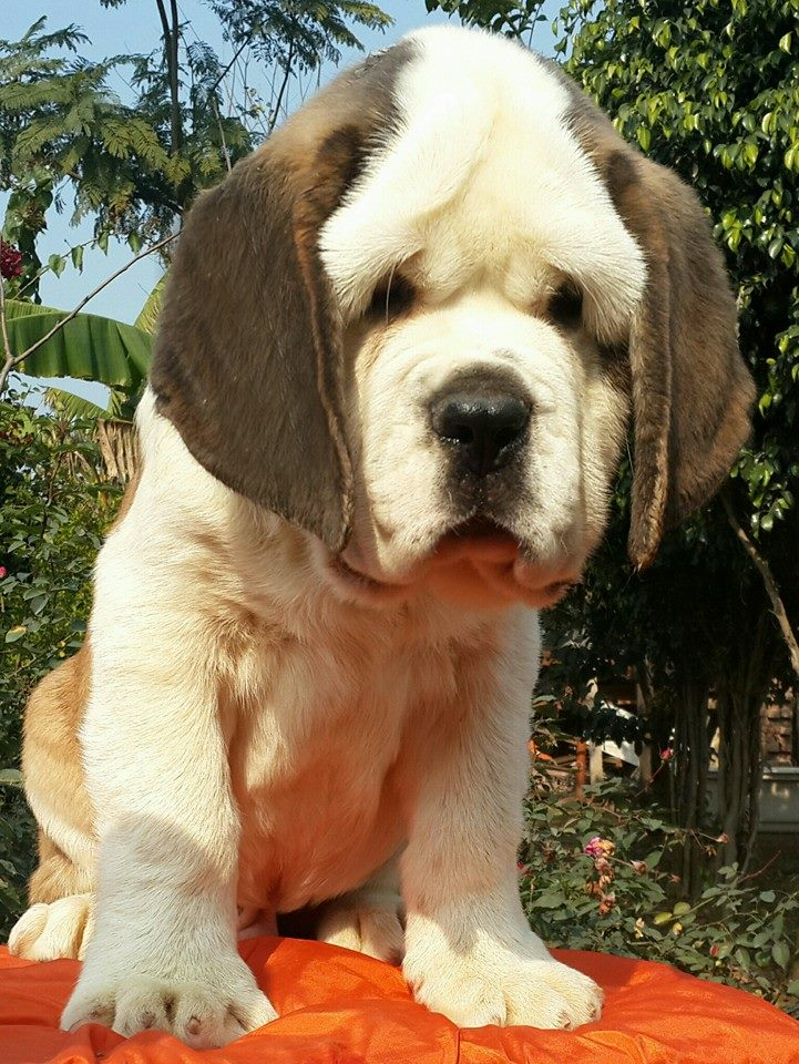 The Best St Bernard Puppies Of India Dogs Elsewhere