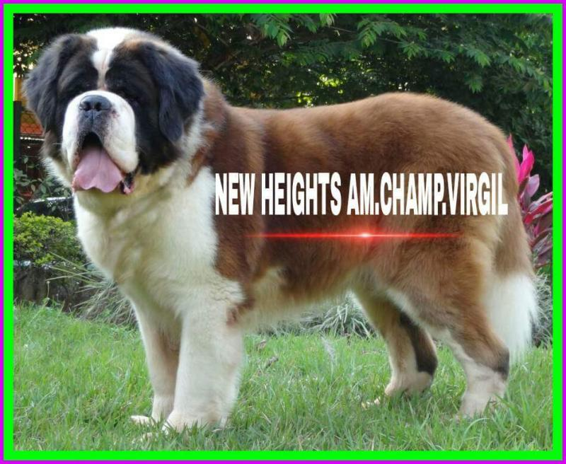 the best st bernard puppies of india - Home
